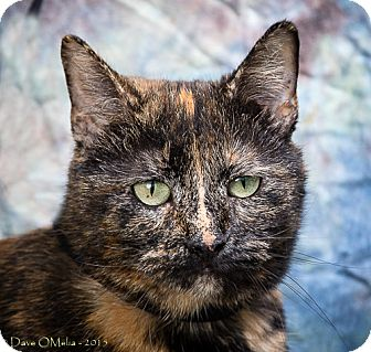 Domestic Shorthair Cat for adoption in Anna, Illinois - WEEZY