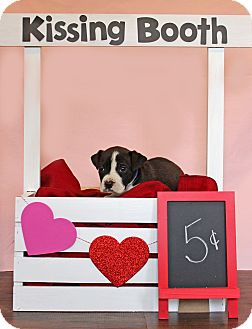 Boxer Mix Puppy for adoption in Waldorf, Maryland - Elvis