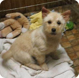 Norwich Terrier/Corgi Mix Puppy for adoption in Saint Paul, Minnesota - Kai-Lee