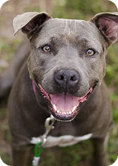 American Staffordshire Terrier Mix Dog for adoption in Port Charlotte, Florida - Phoebe
