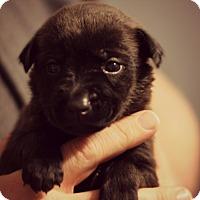 Adopt A Pet :: Eve - Fredericksburg, VA