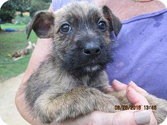 Wirehaired Pointing Griffon/Labrador Retriever Mix Puppy for adoption in Portland, Maine - RHODA