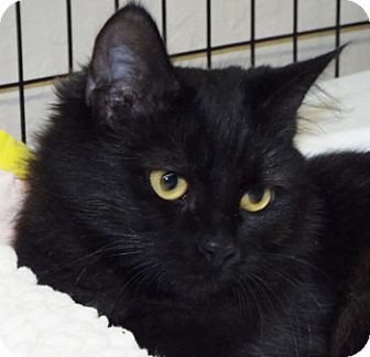 Domestic Longhair Cat for adoption in Grants Pass, Oregon - Lace