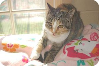Domestic Shorthair Cat for adoption in South Haven, Michigan - Jupiter