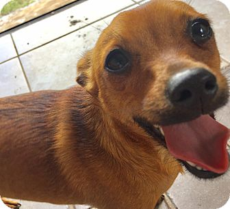 Chihuahua Mix Dog for adoption in Loxahatchee, Florida - Dino