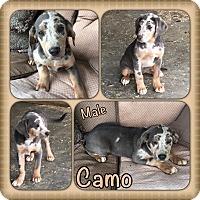 Adopt A Pet :: Camo pending adoption - Manchester, CT