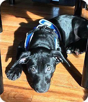 Doberman Pinscher/Boston Terrier Mix Puppy for adoption in Oxford, Connecticut - Anastasia