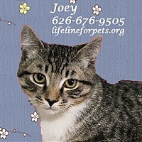 Adopt A Pet :: A Young Male: JOEY - Monrovia, CA