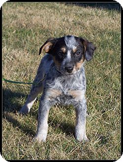 Cattle Dog Mix Puppy for adoption in Milford, New Jersey - Quigley
