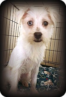 Terrier (Unknown Type, Small) Mix Dog for adoption in Tijeras, New Mexico - Hailey