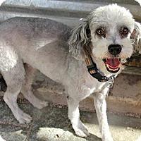 Adopt A Pet :: Bambina - Phoenix, AZ