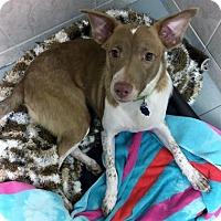 Adopt A Pet :: Hermes (Manhattan) - New York, NY