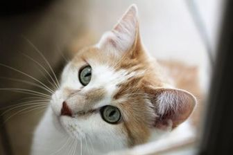Domestic Shorthair/Domestic Shorthair Mix Cat for adoption in Hastings, Minnesota - Bengie