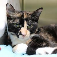 Adopt A Pet :: Sahara - St. Petersburg, FL