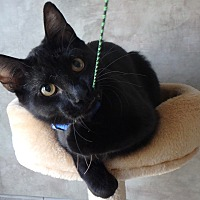 Domestic Mediumhair Cat for adoption in Seguin, Texas - Ziggy