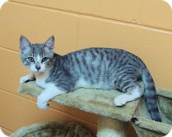 Domestic Shorthair Kitten for adoption in Athens, Alabama - Carsyn
