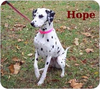 Dalmatian Mix Dog for adoption in Bloomsburg, Pennsylvania - Hope