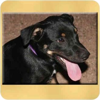 Labrador Retriever Mix Puppy for adoption in Scottsdale, Arizona - Dru