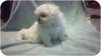 Pekingese Puppy for adoption in Ft. Collins, Colorado - Lacy