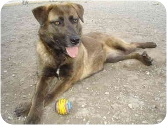 Shepherd (Unknown Type) Mix Dog for adoption in Greenville, North Carolina - Cocoa
