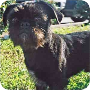 Brussels Griffon Dog for adoption in Houston, Texas - Jackson