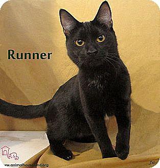 Domestic Shorthair Cat for adoption in St Louis, Missouri - Runner
