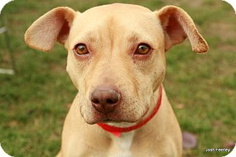 Pit Bull Terrier/Labrador Retriever Mix Dog for adoption in Chicago, Illinois - Biscuit
