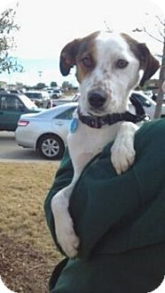 Jack Russell Terrier Mix Dog for adoption in Dallas/Ft. Worth, Texas - Casey in Dallas