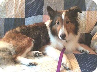 Sheltie, Shetland Sheepdog Dog for adoption in Circle Pines, Minnesota - Becca