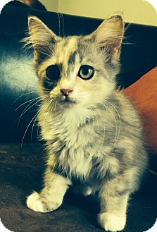 Maine Coon Kitten for adoption in Nashville, Tennessee - Jasmine