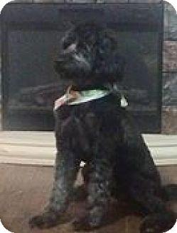 Poodle (Standard)/Border Collie Mix Dog for adoption in Anderson, South Carolina - george