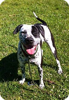Pointer/Hound (Unknown Type) Mix Dog for adoption in Flint, Michigan - Lady Bug - Adopted