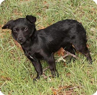 Dachshund Mix Dog for adoption in Truckee, California - Hazelnut