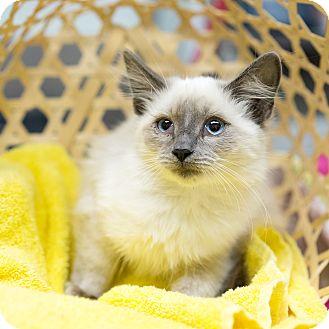 Himalayan Kitten for adoption in Montclair, California - Prince