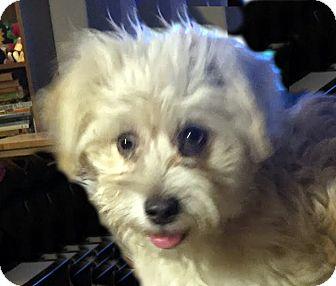 Maltese Mix Dog for adoption in Las Vegas, Nevada - Sierra