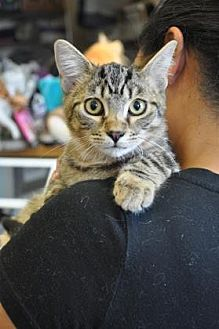 Domestic Shorthair/Domestic Shorthair Mix Cat for adoption in Pompano Beach, Florida - Sunny
