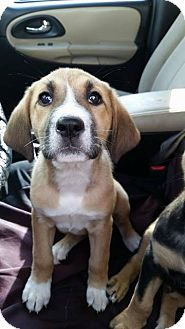 Hound (Unknown Type)/Shepherd (Unknown Type) Mix Puppy for adoption in Broken Arrow, Oklahoma - Roxy
