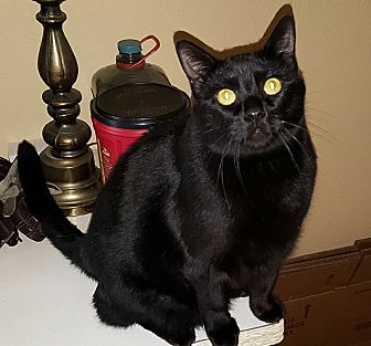 Domestic Shorthair Cat for adoption in White Settlement, Texas - Macy's Blackie