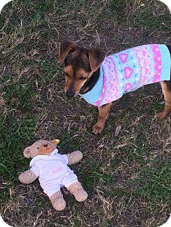 Chihuahua/Dachshund Mix Dog for adoption in Houston, Texas - Pesto