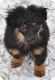 Pomeranian Mix Puppy for adoption in Harrisonburg, Virginia - Louie
