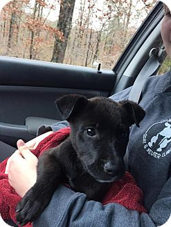 Labrador Retriever/Terrier (Unknown Type, Medium) Mix Puppy for adoption in East Hartford, Connecticut - Ebby pending adoption