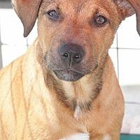 Adopt A Pet :: Brick Hound - Cranston, RI
