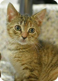 American Shorthair Kitten for adoption in Aiken, South Carolina - Edith