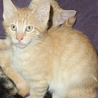 Adopt A Pet :: Shenanigans - Liverpool, NY