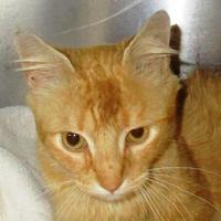 Adopt A Pet :: Bingo - Memphis, TN