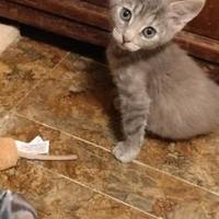 Adopt A Pet :: PIXIE - Mesa, AZ