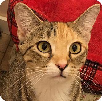 Domestic Shorthair Cat for adoption in Buhl, Idaho - Baby Doll