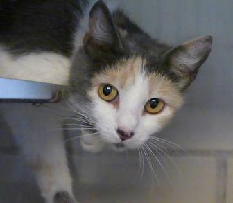Domestic Shorthair/Domestic Shorthair Mix Cat for adoption in Evans, Colorado - Wanda