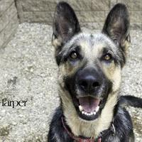 Adopt A Pet :: Harper - South Bend, IN