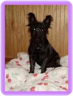 Scottie, Scottish Terrier Dog for adoption in Wisconsin Rapids, Wisconsin - Molly